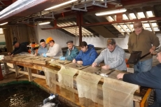 Fin Clipping Salmon Parr and Smolts, Margaree Hatchery
