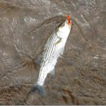 2015 Striped Bass Research